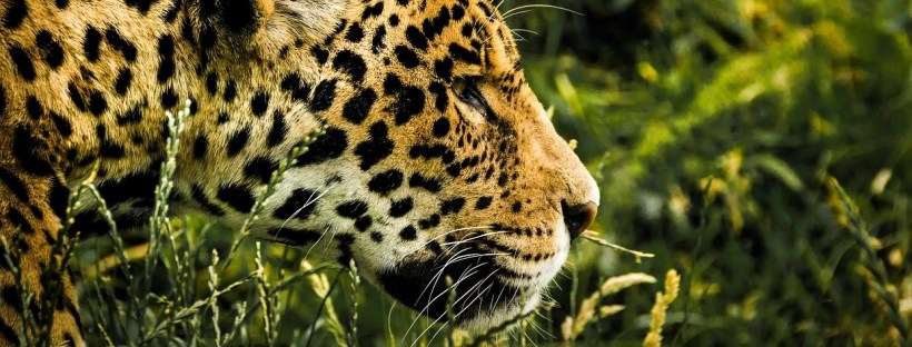 Best places to see jaguars, WildSide, World Wild Web