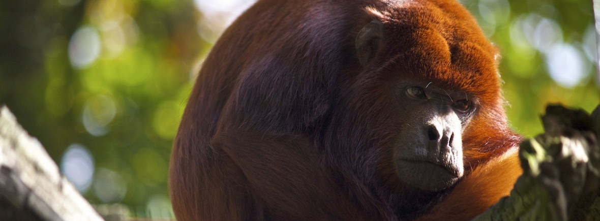 Best places to see howler monkeys, WildSide, World Wild Web