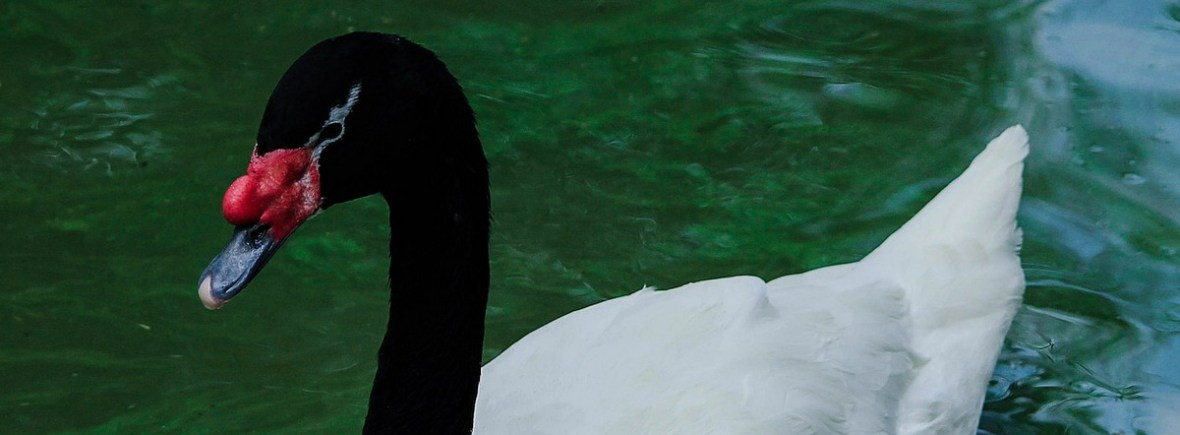 Best places to see black-necked swans, WildSide, World Wild Web