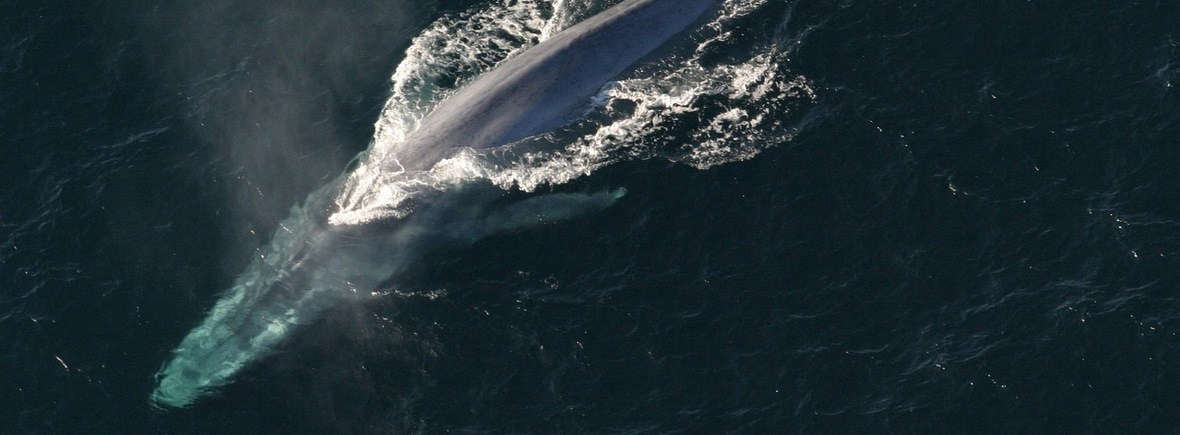 best places to see blue whales, WildSide, World Wild Web