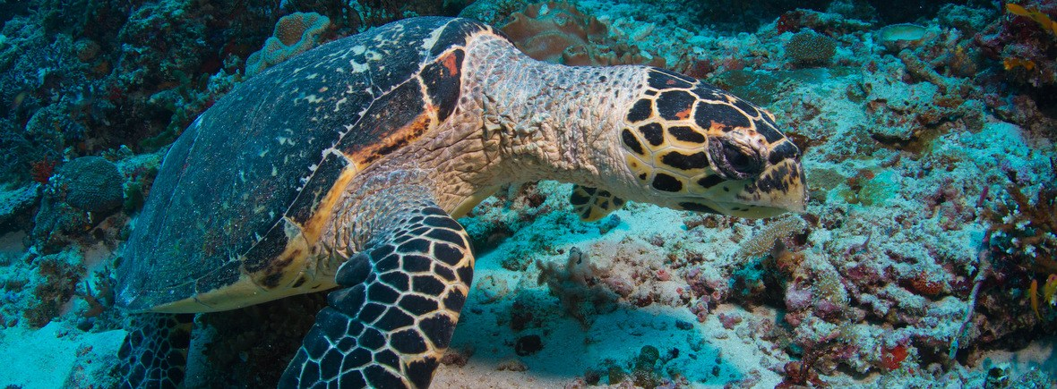 best places to see hawksbill sea turtles, wildside, world wild web