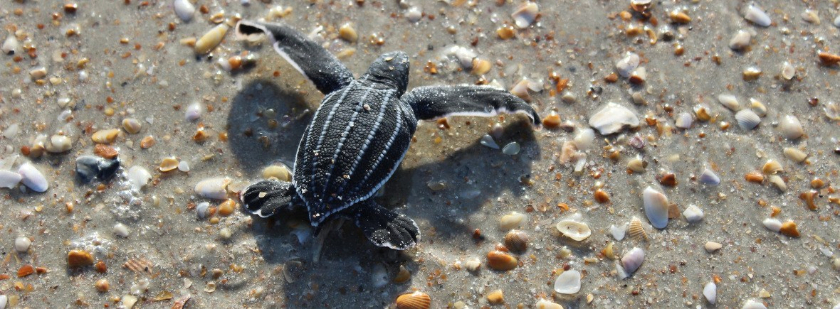 best places to see leatherback sea turtles, WildSide, world wild web