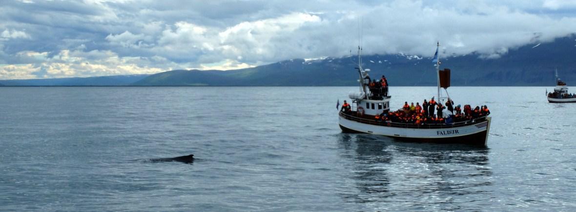 Wildlife in Husavik, Iceland, WildSide, World Wild Web