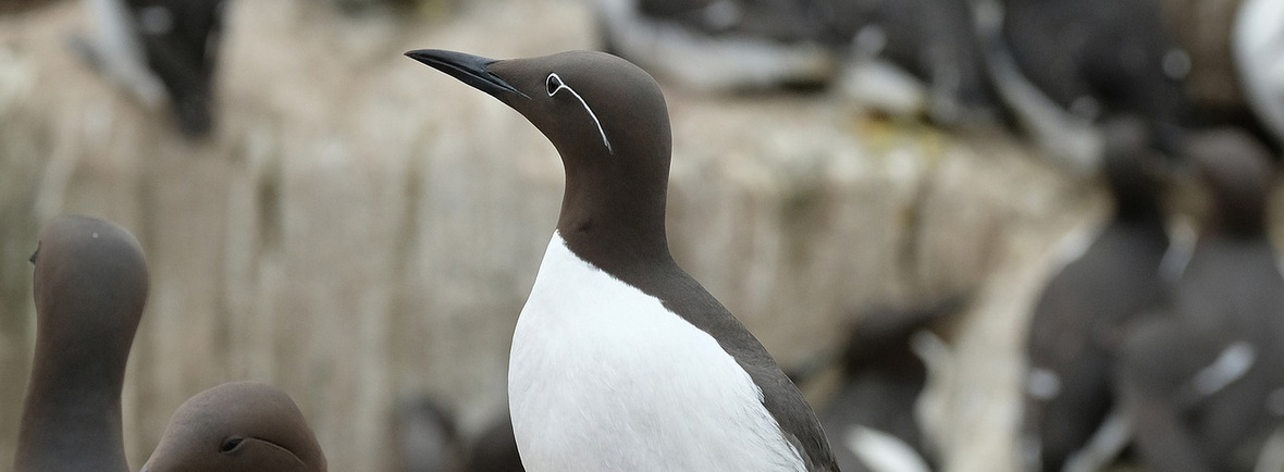 best places to see guillemots, wildside, world wild web