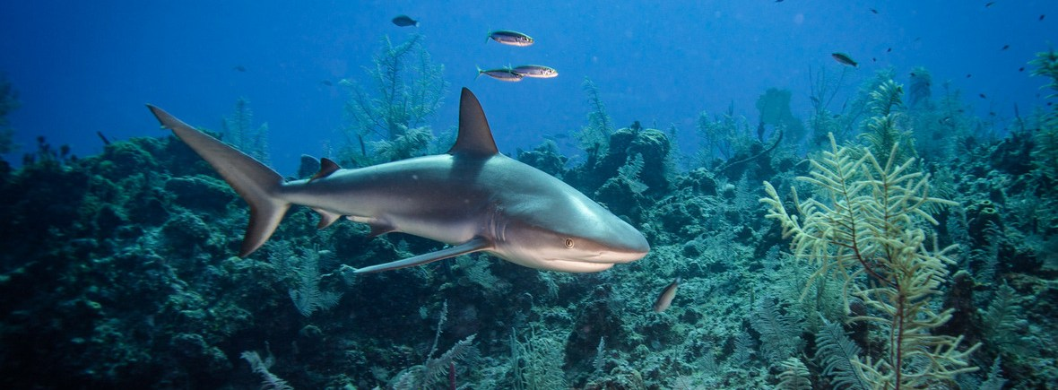 where to see reef sharks, WildSide, World Wild Web