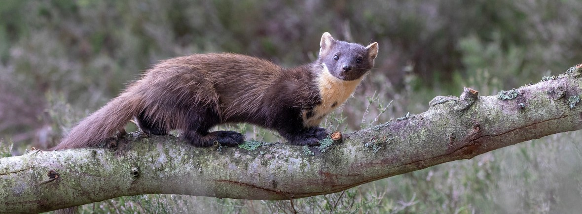 where to see pine martens, wildside, world wild web