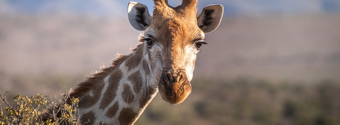 where to see giraffes, wildside, world wild web