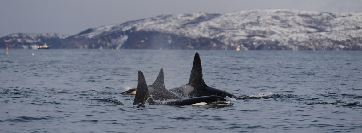 where to see orcas, wildside, world wild web