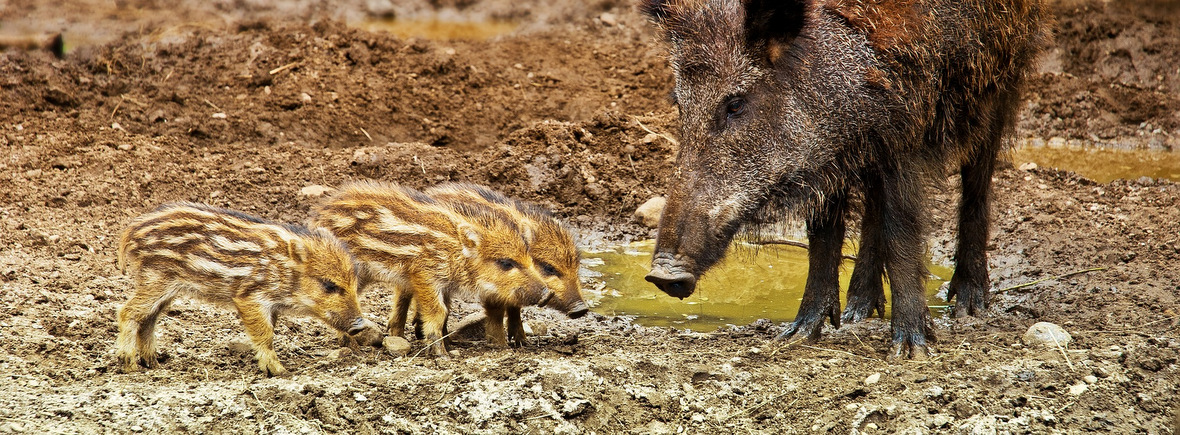 where to see wild boars, wildside, world wild web