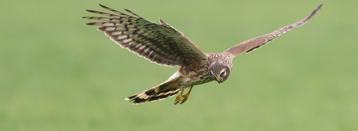 where to see hen harriers, wildside, world wild web