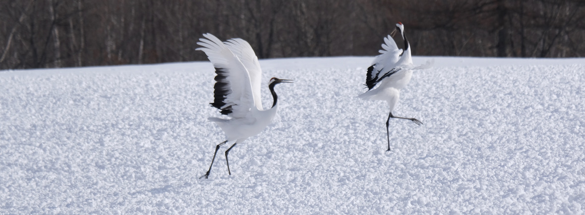 where to see red-crowned cranes, wildside, world wild web