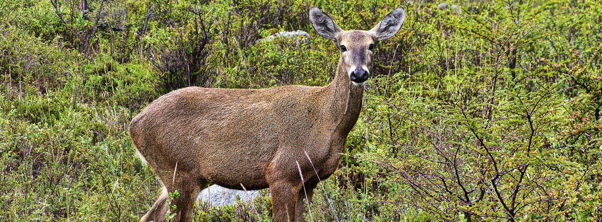 where to see huemul deer, wildside, world wild web