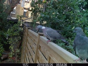 wood pigeon london localwild wildside world wild web