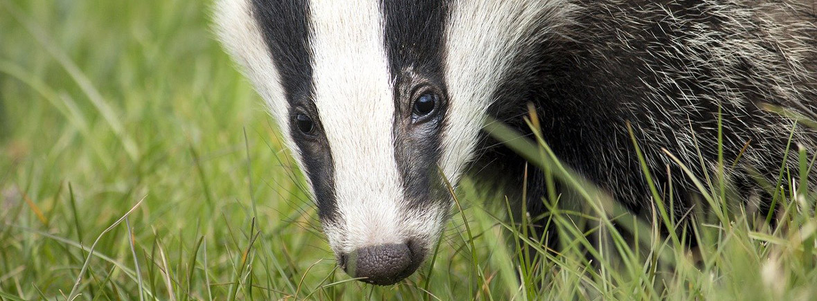 where to see badgers, wildside, world wild web