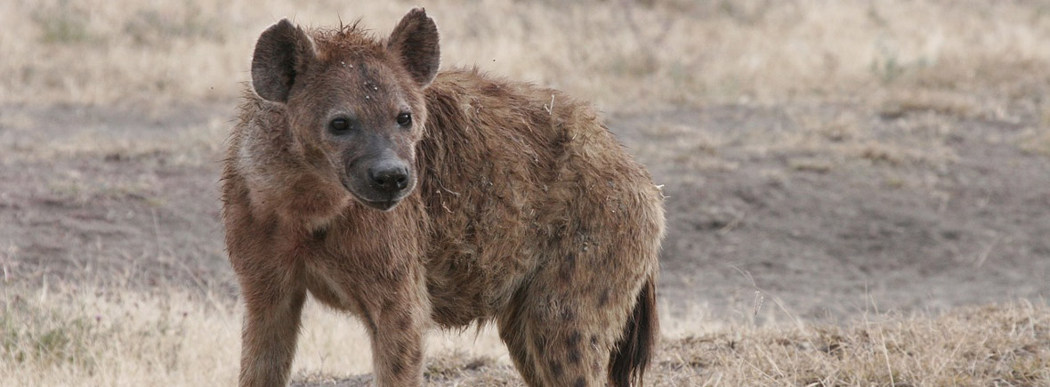 where to see spotted hyenas, wildside, world wild web