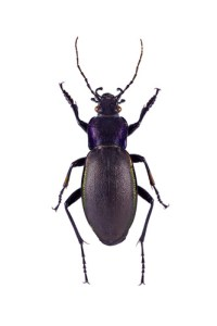 violet ground beetle, wildside, world wild web