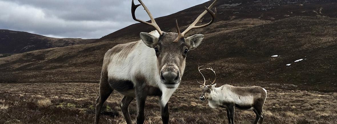 where to see reindeer, wildside, world wild web
