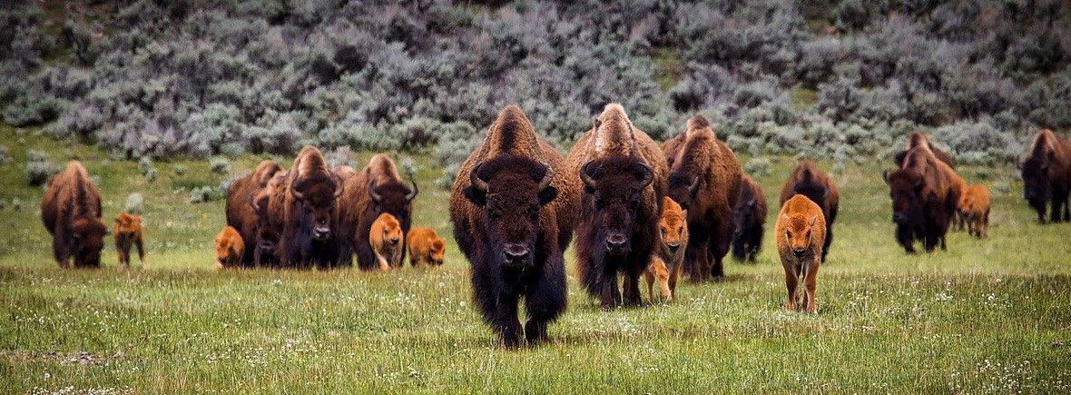 where to see American bison, wildside, world wild web