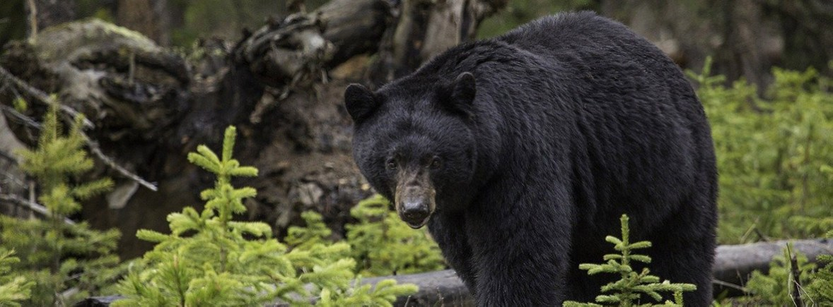 where to see black bears, wildside, world wild web