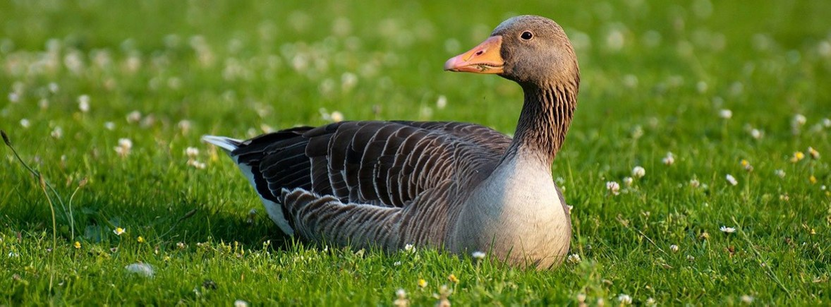 where to see greylag geese, wildside, world wild web