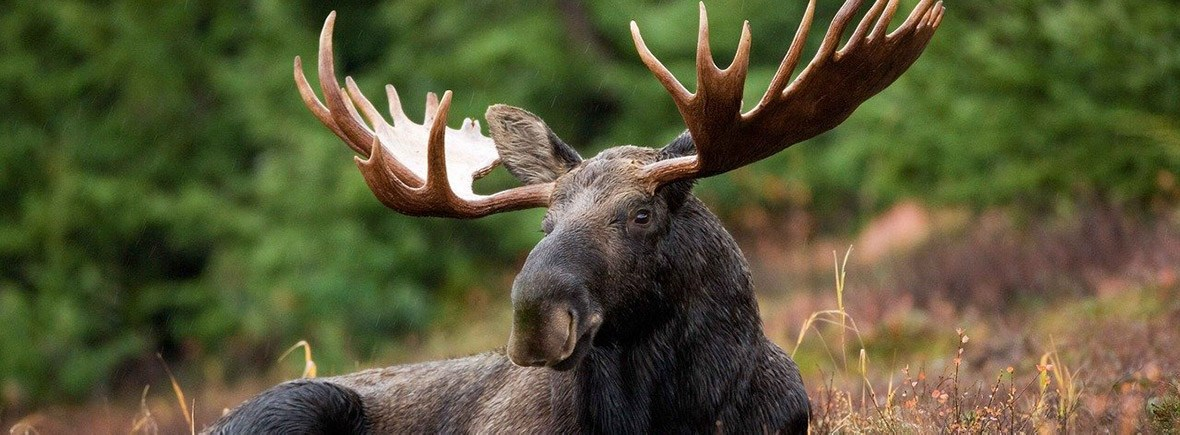 where to see moose yellowstone, wildside, world wild web