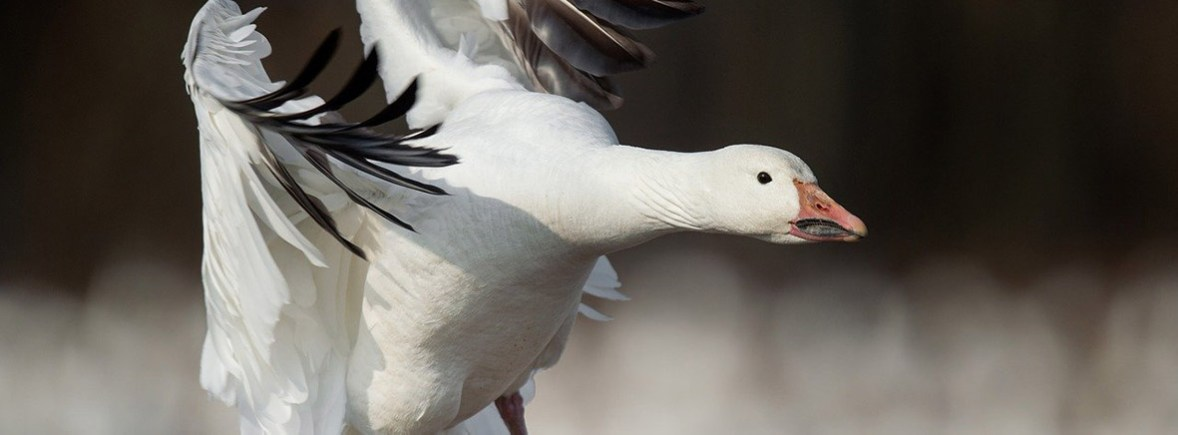 where to see snow geese, wildside, world wild web
