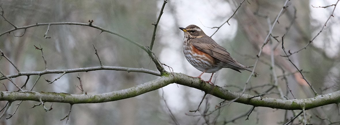where to see redwings, wildside, world wild web