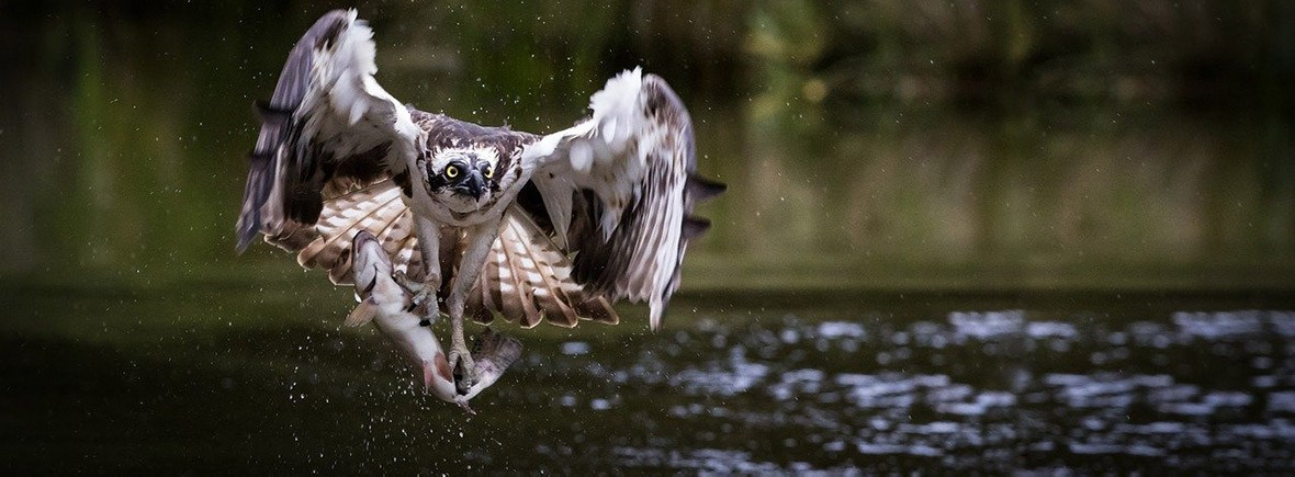 where to see ospreys wildside world wild web