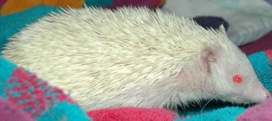 Lilli the hedgehog