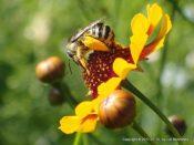 Bee on Golden Tickseed