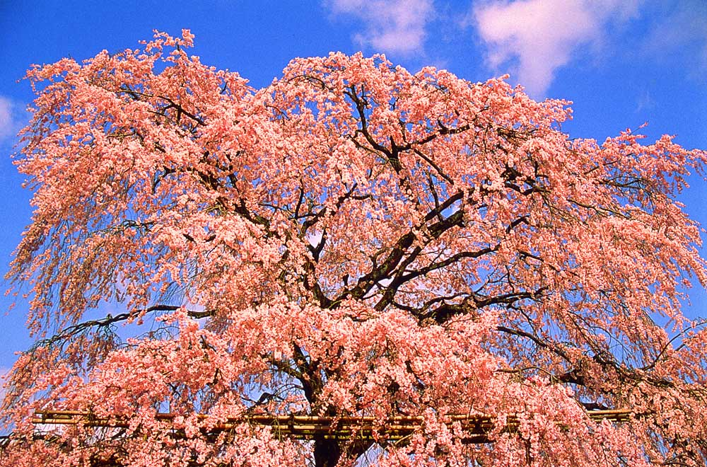 KYOTO, CHERRY TREE