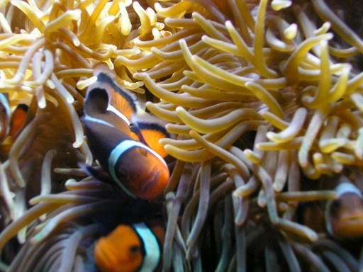 clownfish in an anemone