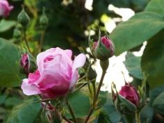 Rose in Museum Van Loon's Garden