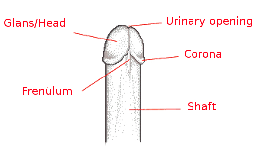 Parts of the Penis