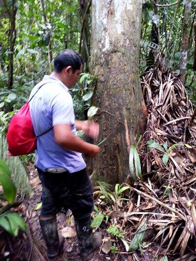 drzewo_amazonia