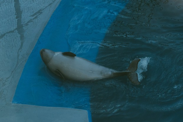 Baby Beluga - 12