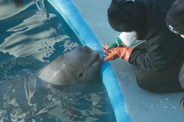 Baby Beluga - 8