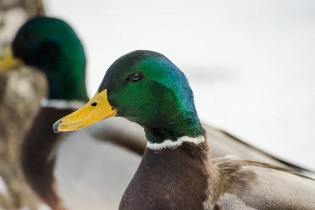 Woodland Park Ducks - 24