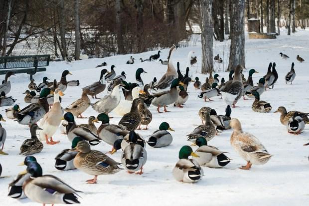 Woodland Park Ducks - 6