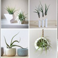 12 Ways to Bring Air Plants into Your Home