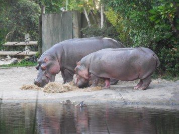 The hippos having a bedtime snack.