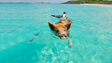 Pig Beach Bahamas Facts - Adorable Creature You Can Visit In The Island