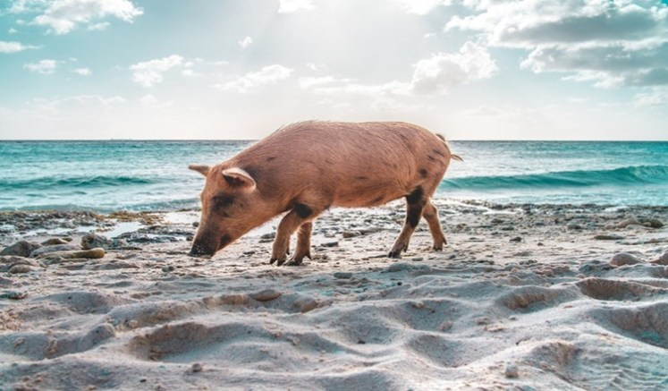 Pig Beach Big Major Cay Bahamas - How To Get There, Travel Guide and etc