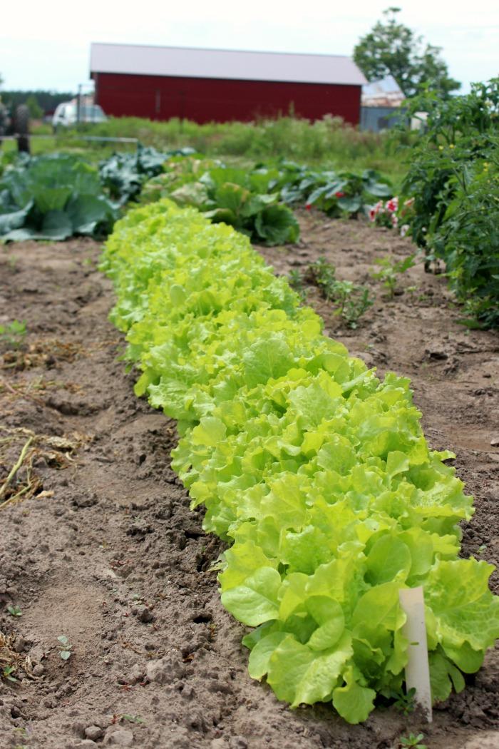 lettuce butter