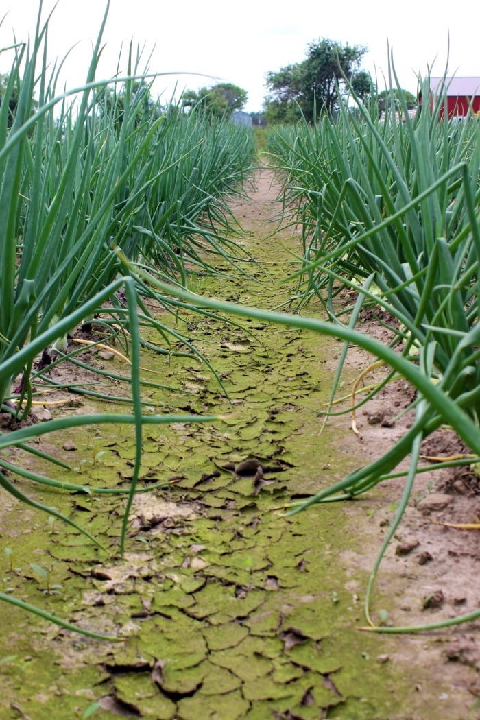onion row