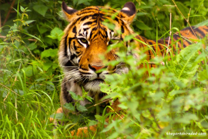 Tiger in the Grass | My Sunday Photo | The Yorkshire Dad of 4