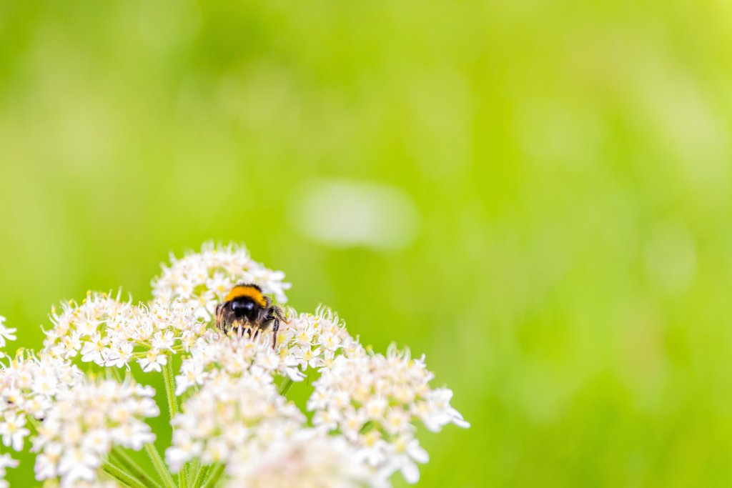Macro honey bee on cow parsley | A New Lens Brings New Love For Photography | The Yorkshire Dad of 4