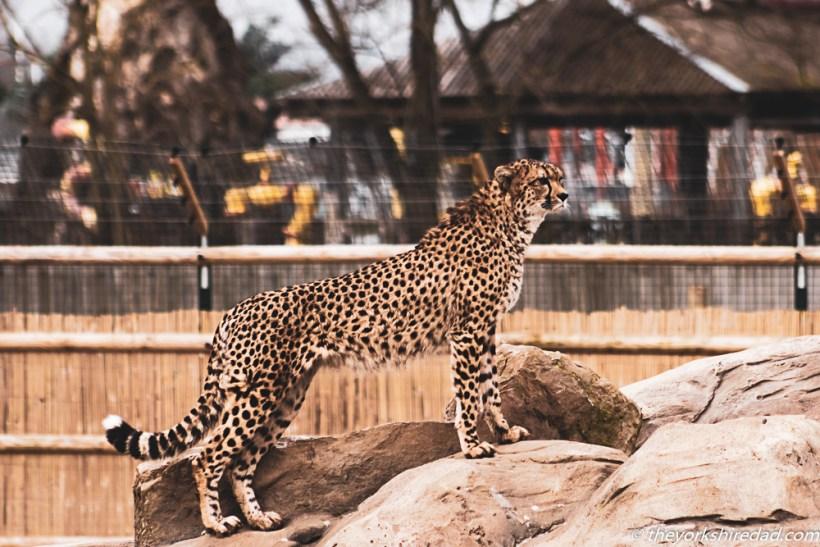 cheetah at flamingo land zoo