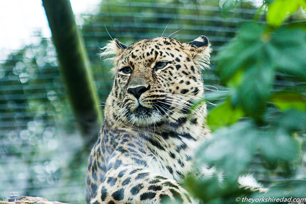 leopard at Twycross zoo | The Yorkshire Dad of 4