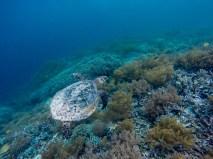 La vie sous marine incroyable de Raja Ampat, qui abrite près de 1 500 espèces de poissons, 75% des coraux du monde sont présents, et 700 variétés de mollusques ! Plongeurs, avec masque et tuba ou à bouteille, c'est le paradis de la vie sous marine !